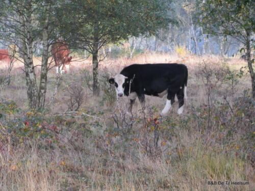 Grazende koeien op de Doorwerthse heide